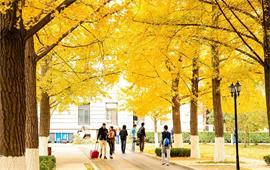 北京科技大学银杏大道